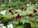 Photo Trillium, Wakerobin, Tri Flower, Birthroot description