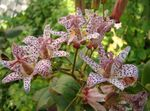 Photo Toad Lily description