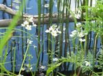 Photo Water Violet description