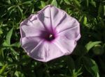Photo Morning Glory, Blue Dawn Flower description