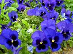Photo Viola, Pansy description