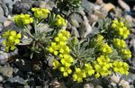 Photo Rydberg Twinpod, Double Bladderpod description