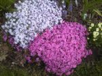 Photo Creeping Phlox, Moss Phlox description
