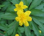 Double-Flowered Yellow Wood Anemone, Buttercup Anemone
