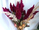 Photo Cockscomb, Plume Plant, Feathered Amaranth description