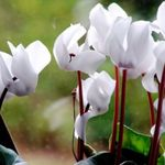 Photo Sow Bread, Hardy Cyclamen description