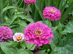 Photo Zinnia description