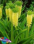 Photo Pineapple Flower, Pineapple Lily description