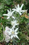 Photo Edelweiss description