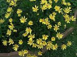 Photo Bush Daisy, Green Euryops description