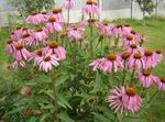 Photo Coneflower, Eastern Coneflower description