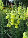 Photo Snapdragon, Museau De Belette la description