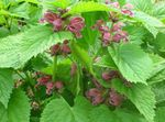 Photo Lamium, Dead Nettle description