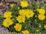 Photo Hardy Ice Plant description