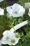 Photo Crown Windfower, Grecian Windflower, Poppy Anemone description