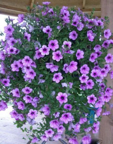 Have blomster petunia fortunia, petunia x hybrida fortunia foto ...