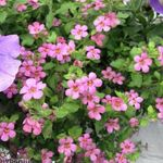 Photo Bacopa (Sutera) description