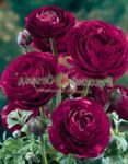 Photo Ranunculus, Persian Buttercup, Turban Buttercup, Persian Crowfoot description