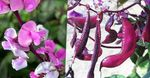 Photo Ruby Glow Hyacinth Bean description