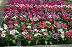 Photo Rose Periwinkle, Cayenne Jasmine, Madagascar Periwinkle, Old Maid, Vinca description