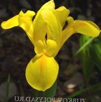 Photo Dutch Iris, Spanish Iris description