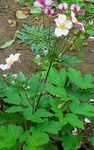 Photo Japanese Anemone description