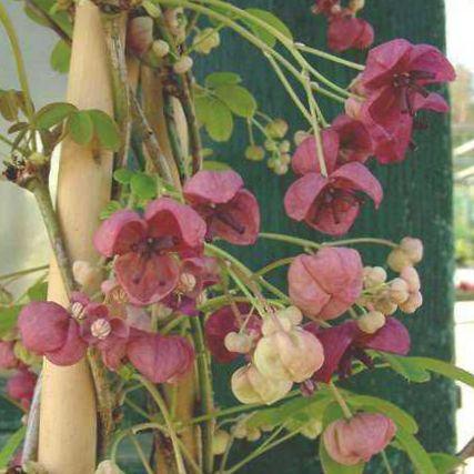Have blomster fem blade akebia, chokolade vinranke, akebia quinata ...