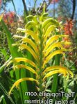 Photo Pennants, African Cornflag, Cobra Lily description