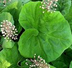 Photo Butterbur description