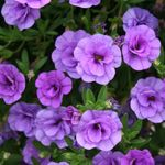Photo Calibrachoa, Million Bells la description
