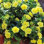 Photo Calibrachoa, Million Bells description