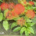 Photo Torch Lily, Blood Lily, Paintbrush Lily, Football Lily, Powderpuff Lily, Fireball Lily description