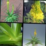 Photo Bulbine, Bulbinella, Burn Jelly Plant, Stalked Bulbine, Orange Bulbine description