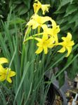Photo Peruvian Daffodil, Perfumed Fairy Lily, Delicate Lily description