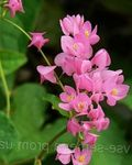 Photo Mexican Coral Vine, Coral Creeper, Honolulu Creeper, Corallita, Chinese Love Vine description