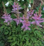 Photo Astilbe, False Goat's Beard, Fanal description