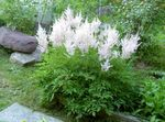 Photo Astilbe, La Barbe De Chèvre Fausse, Fanal la description
