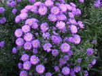 Photo Aster description