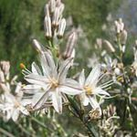 Photo White Asphodel description