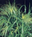 Photo Millet Cereals description