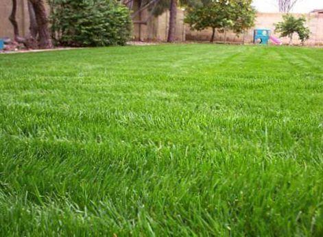 Verde le piante ornamentali loglio perenne graminacee for Piante graminacee ornamentali