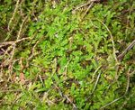 Photo Spring Meadow Spikemoss, Clubmoss Suisse Les Fougères la description