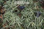 multicolor Ornamental Plants Dwarf White-Stripe bamboo, Kamuro-zasa cereals, Pleioblastus Photo