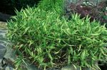 Photo Dwarf White-Stripe bamboo, Kamuro-zasa Cereals description