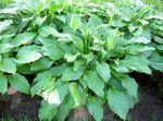 Photo Plantain lily Leafy Ornamentals description