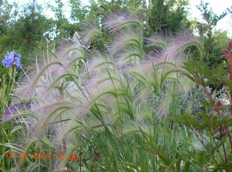 Verde le piante ornamentali coda di volpe orzo scoiattolo for Piante graminacee ornamentali