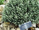 Photo Helichrysum, Curry Plant, Immortelle Leafy Ornamentals description