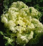 Photo Flowering Cabbage, Ornamental Kale, Collard, Cole  description