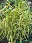 Photo Bowles Golden Grass, Golden Millet Grass, Golden Wood Millet Cereals description