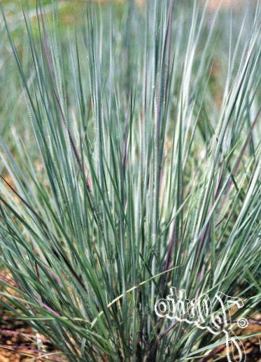 Azzurro le piante ornamentali grande bluestem turkeyfoot for Piante graminacee ornamentali